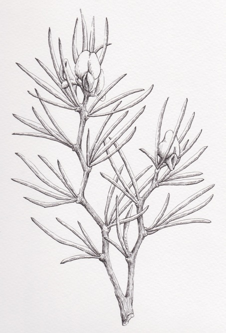 Rooibos Plant